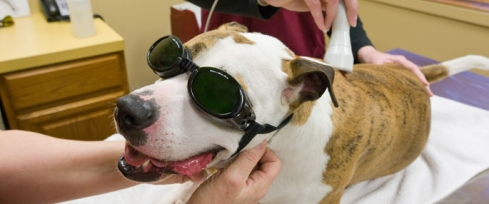 This dog is benefiting from laser therapy